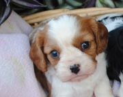 Precious Cavalier King Charles Spaniel Puppies For Sale