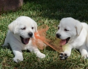 Disciplined Labrador Retriever Puppies For Sale