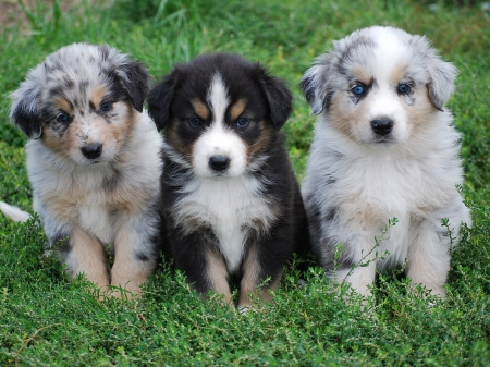 Well Mannered Australian Shepherd Puppies For Sale