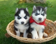 Wonderful Siberian Husky Puppies For Sale