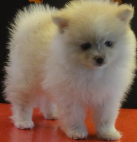 Graceful Pomeranian Puppies For Sale