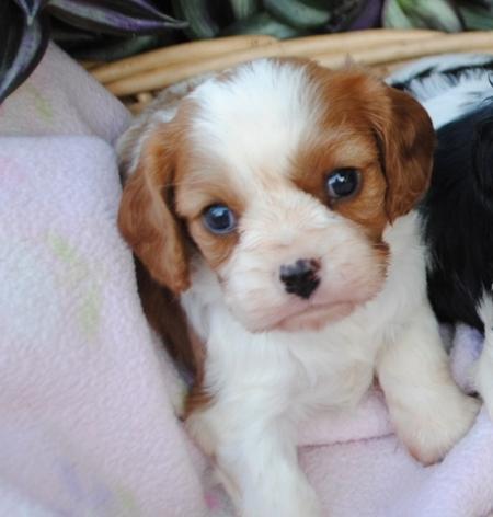 Splendid Cavalier King Charle Puppies For Sale
