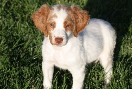 Wise Brittany Puppies For Sale
