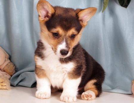 Endearing Pembroke Welsh Corgi Puppies For Sale
