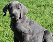 Superb Great Dane Puppies For Sale