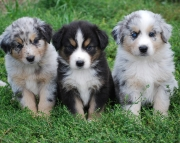 Cheerful Australian Shepherd Puppies For Sale