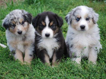 Cheerful Australian Shepherd Puppies For Sale