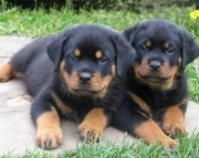 Energetic Rottweiler Puppies For Sale