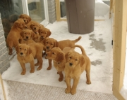 Likable Golden Retriever Puppies For Sale