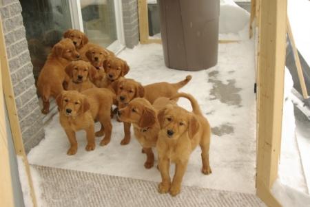Likable Golden Retriever Puppies For Sale