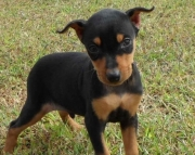 Stunning Miniature Pinscher Puppies For Sale