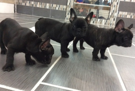 Hardy French Bulldog Puppies For Sale