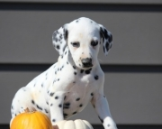 Civil Dalmatian Puppies For Sale