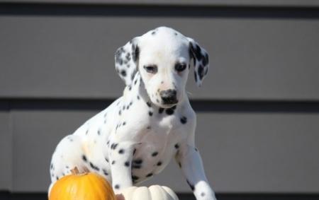 Civil Dalmatian Puppies For Sale