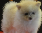 Clever Pomeranian Puppies For Sale