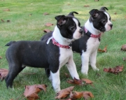 Quick Boston Terrier Puppies For Sale