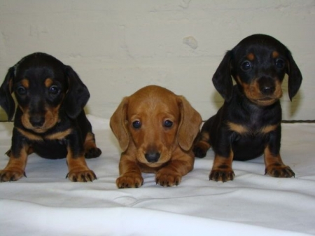 Able Miniature Dachshund Puppies For Sale