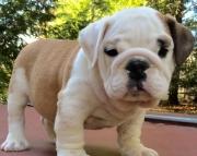 Enjoyable English Bulldog Puppies For Sale