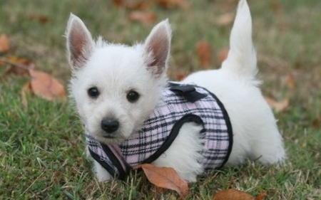 Temperate West Highland White Puppies For Sale