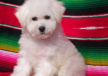 Magnanimous Bichon Frise Puppies For Sale
