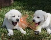 Meritorious Labrador Retriever Puppies For Sale