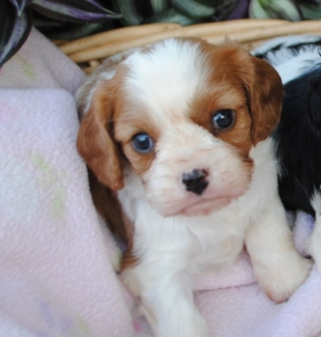 Enhanced Cavalier King Charle Puppies For Sale