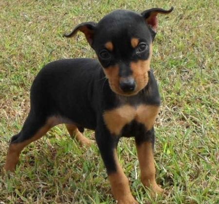 Clean Miniature Pinscher Puppies For Sale