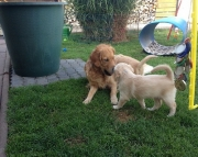Addorable Golden Retriever Puppies for sale 505x652x7165