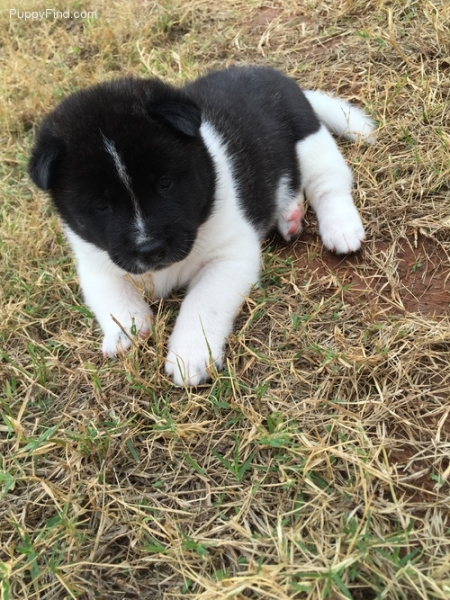 Homed Raised Akita Puppies for Sale 505x652x7165