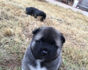 Fresh Akita Puppies ready for sale to new homes 505x652x7165