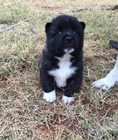 Caring Akita Puppies for Sale 505x652x7165