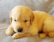 Homely Golden Retriever Puppies for sale 505x652x7165