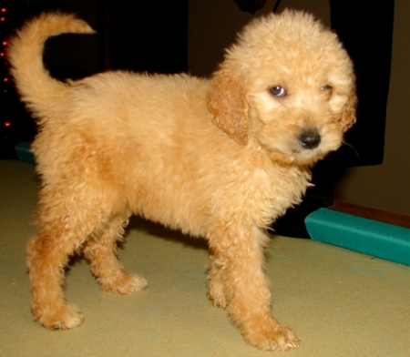 Goldendoodle Puppies for Sale 505x652x7165