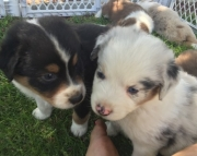 Homely Australian Sherperd puppies for sale  505x652x7165