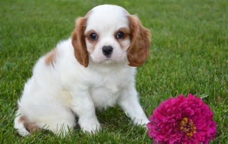 Young Cavalier King Charles Spaniel Puppies 505x652x7165