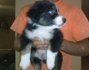 Australian Sherped puppies for sale 505x652x7165