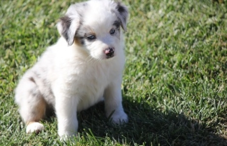 Home Made Australian Sherperd Puppies for Sale505x652x7165