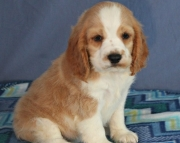 Cocker spaniel puppies for sale 505x652x7165