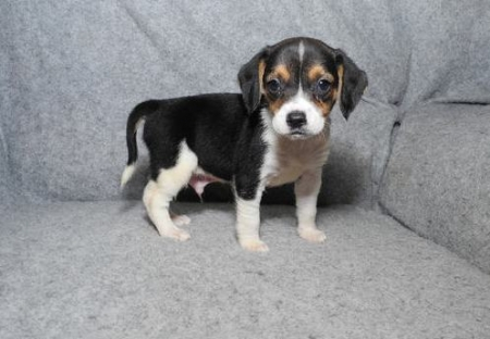 Hurg Beagle Puppies for Sale 505x652x7165
