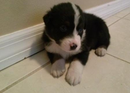 Dazy Australian Sherperd Puppies for Sale  505x652x7165
