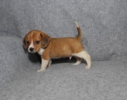 HHHH Beagle puppies for sale 505x652x7165