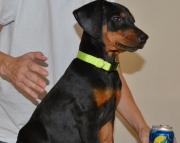 Doberman Pinscher puppies for sale 505x652x7165