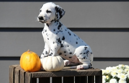 Fresh Dalmatian Puppies for Sale505x652x7165