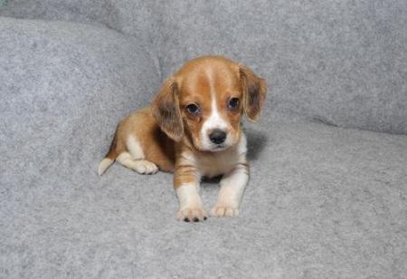 KFSN Beagle Puppies for Sale 505x652x7165