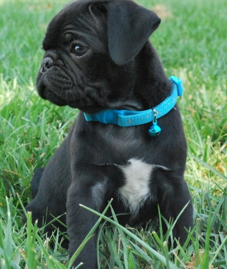 Black Pug Puppies Ready for Sale Now 505x652x7165