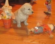 Sandi Golden Retriever puppies for sale  505x652x7165