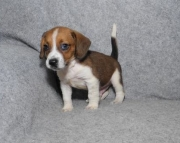 Homming Great Beagle puppies for sale 505x652x7165