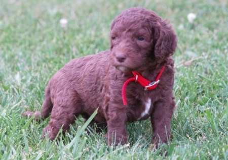 Labradordoodle Puppies for Sale 505x652x7165