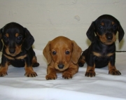 Composed Miniature Dachshund Puppies For Sale