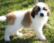 Exquisite Saint Bernard Puppies For Sale